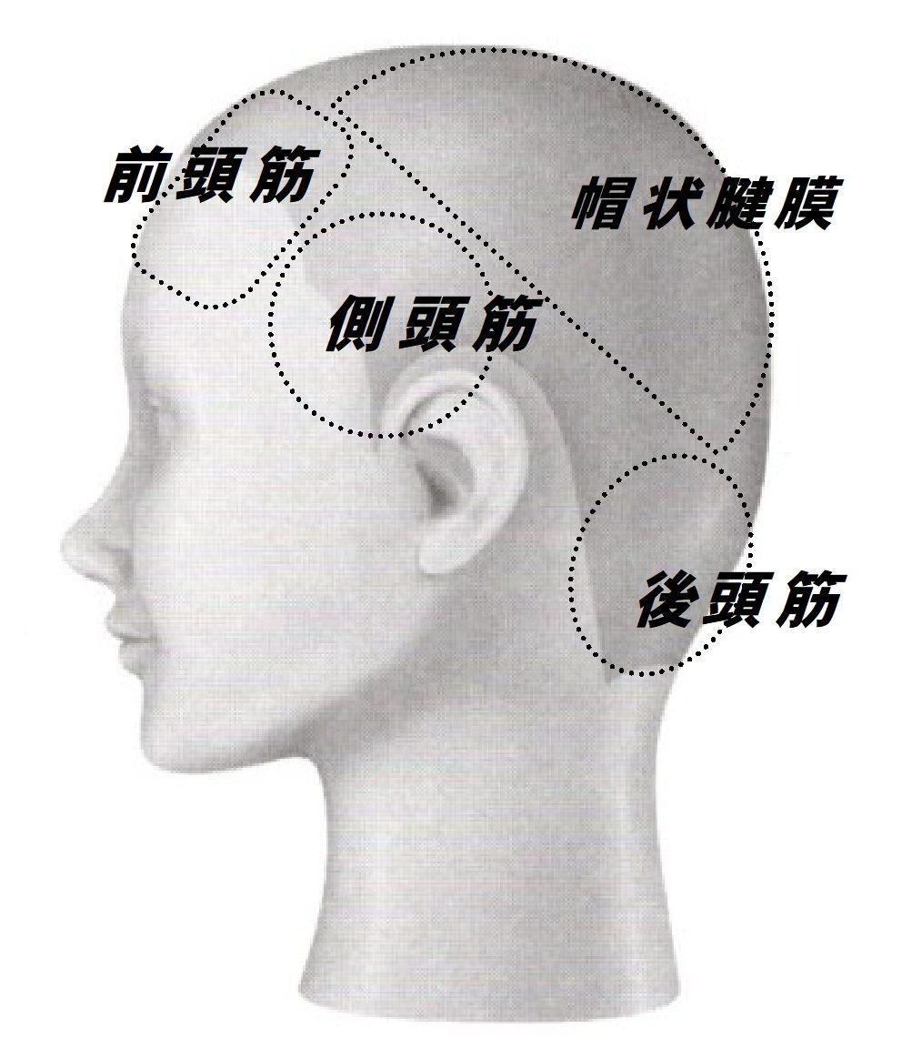 頭の筋肉組織