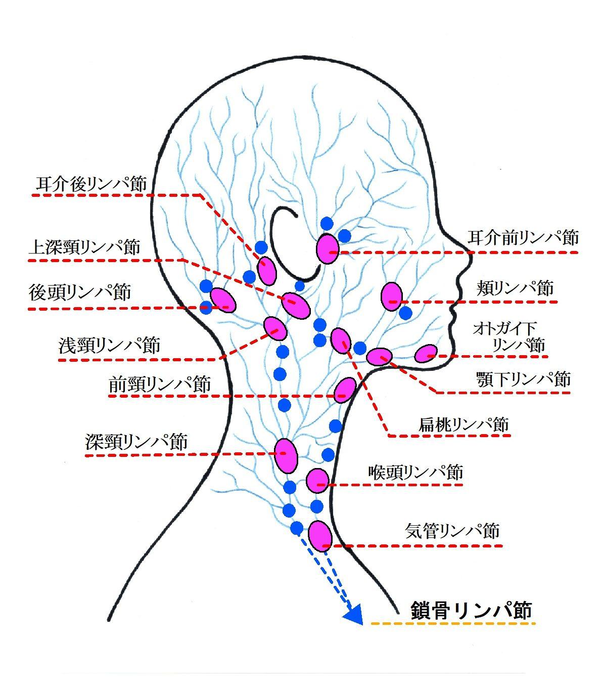 リンパ節とリンパ管の仕組み