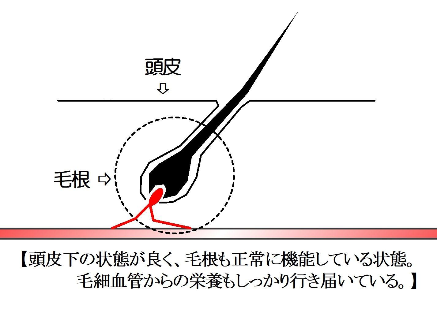 正常な育毛の状態(毛根)